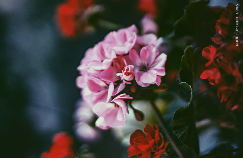 image of pink and red geraniums